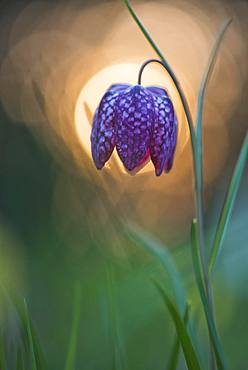 Snake's Head Fritillary (Fritillaria meleagris) in backlight, Emsland, Lower Saxony, Germany, Europe