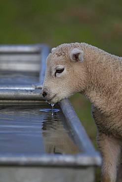 Domestic lamb (Ovis aries) drinking from a trough, Suffolk, England, United Kingdom, Europe