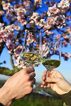 Pair toasting with white wine in front of a flowering almond tree, Burrweiler, Pfaelzer Mandelpfad, German Wine Route, Rhineland-Palatinate, Germany, Europe