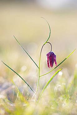 Snake's Head Fritillary (Fritillaria meleagris) with ice crystals in a meadow at sunrise, Styria, Austria, Europe