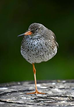Common redshank (Tringa totanus), standing on one leg, captive, Germany, Europe
