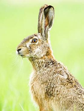 European hare (Lepus europaeus) sits attentively in the field, Burgenland, Austria, Europe
