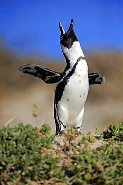African penguin (Spheniscus demersus), adult, calling, spreading wings, Boulders Beach, Simon's Town, Western Cape, South Africa, Africa