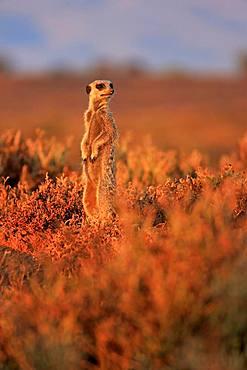 Meerkat (Suricata suricatta), adult, standing upright, at sunrise, vigilant, Oudtshoorn, Western Cape, South Africa, Africa