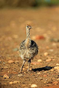 South African ostrich (Struthio camelus australis), chick, Oudtshoorn, Western Cape, South Africa, Africa