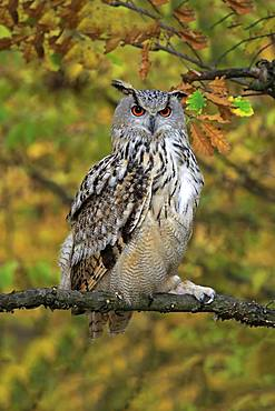 Siberian Eagle Owl (Bubo bubo sibiricus), adult, watchful on perch, Slovakia, Europe