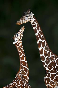 Two Reticulated giraffe (Giraffa camelopardalis reticulata), mother animal and young animal, captive, Germany, Europe