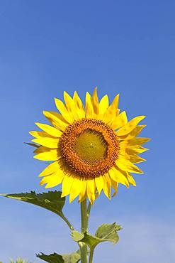 Sunflower, Lopburi province, central plains, Thailand, Asia