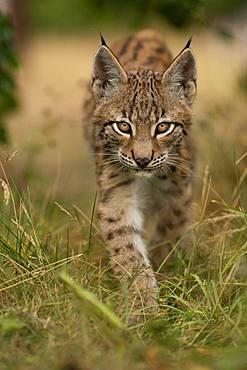Lynx (Lynx lynx), young animal running, Rhineland-Palatinate, Germany, Europe