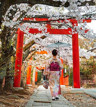 Japanese woman with kimono under blossoming cherry trees, Torii gate at Takenaka-Inari-Jinja shrine, Kyoto, Japan, Asia