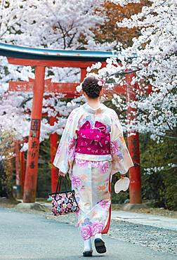 Japanese woman dressed with kimono under blossoming cherry trees, Torii gate at Takenaka-Inari-Jinja shrine, Kyoto, Japan, Asia