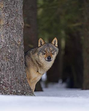 Gray wolf (Canis lupus), standing behind a tree trunk in the snow, Sumava National Park, Bohemian Forest, Czech Republic, Europe