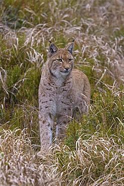 Eurasian lynx (Lynx lynx), stands carefully between blueberry bushes, Sumava National Park, Bohemian Forest, Czech Republic, Europe