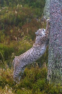 Eurasian lynx (Lynx lynx), standing upright on a tree trunk, sharpening the claws, Sumava National Park, Bohemian Forest, Czech Republic, Europe