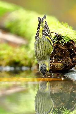 Eurasian siskin (Carduelis spinus), male, drinking water at a birdbath, Siegerland, North Rhine-Westphalia, Germany, Europe