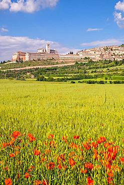 Field with poppy, city view with the basilica San Francesco, Assisi, province Perugia, Umbria, Italy, Europe