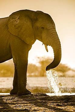 African elephant (Loxodonta africana) drinking at a waterhole, Nxai Pan National Park, Ngamiland, Botswana, Africa