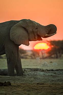 African elephant (Loxodonta africana) drinking at a waterhole at sunset, Nxai Pan National Park, Ngamiland, Botswana, Africa