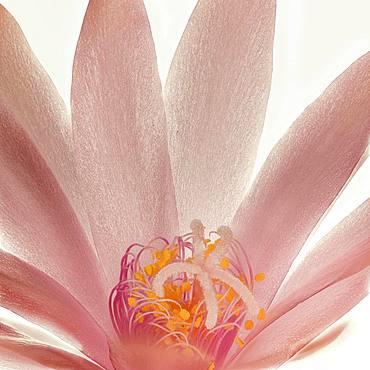 Pink cactus flower, houseplant, Austria, Europe