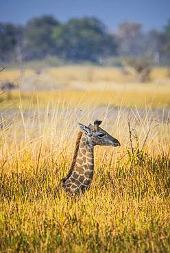 Angolan Giraffe (Giraffa camelopardalis angolensis), young animal lies hidden in high grass, Moremi Wildlife Reserve, Ngamiland, Botswana, Africa