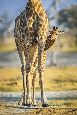 Angolan Giraffes (Giraffa camelopardalis angolensis), young looking out from behind mother's legs, detail view, Moremi Wildlife Reserve, Ngamiland, Botswana, Africa