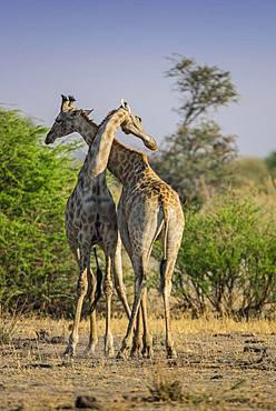 Angolan Giraffes (Giraffa camelopardalis angolensis), two bulls fighting, Moremi Wildlife Reserve, Ngamiland, Botswana, Africa