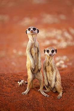Two Meerkats (Suricata suricatta), adult, standing upright, alert, Tswalu Game Reserve, Kalahari, North Cape, South Africa, Africa