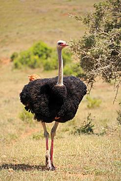 South African Ostrich (Struthio camelus australis), adult, male, running, Mountain Zebra National Park, Eastern Cape, South Africa, Africa