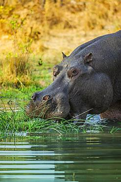 Hippo (Hippopotamus amphibius), grazing in shallow water, Moremi Wildlife Reserve, Ngamiland, Botswana, Africa