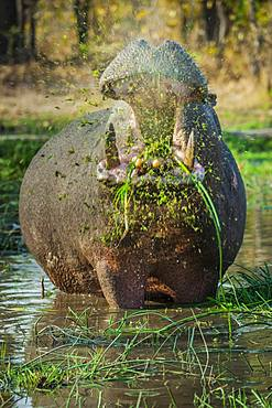 Hippo (Hippopotamus amphibius), grazing in shallow water, open mouth, Moremi Wildlife Reserve, Ngamiland, Botswana, Africa