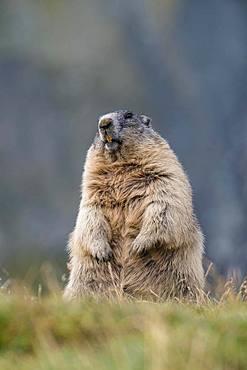 Alpine Marmot (Marmota marmota), standing, Grossglockner, Hohe Tauern National Park, Carinthia, Austria, Europe