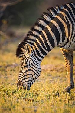 Burchell's Zebra (Equus quagga burchelli), eating, Moremi Wildlife Reserve, Ngamiland, Botswana, Africa