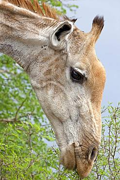 Giraffe (Giraffa), animal portrait, Kruger National Park, South Africa, Africa