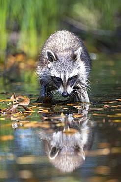 Raccoon (Procyon lotor) wads through water, Louisiana, USA, North America