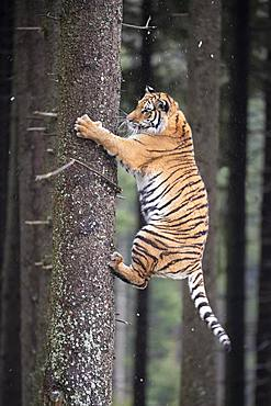 Siberian tiger (Panthera tigris altaica) climbing tree trunk, captive, Czech Republic, Europe