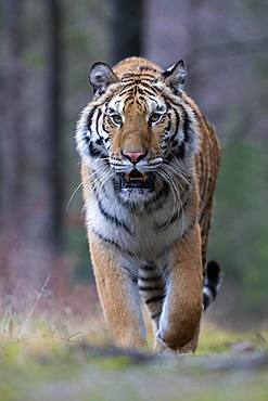 Siberian tiger (Panthera tigris altaica), running, direct view, captive, Czech Republic, Europe