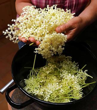 Cut off elderflowers in pot, Bavaria, Germany, Europe