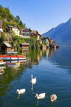 Swan family at Lake Hallstatt, Hallstatt, Salzkammergut, Upper Austria, Austria, Europe