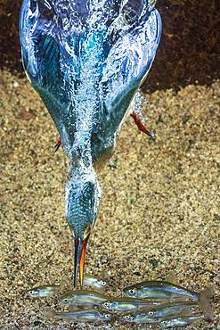 Common kingfisher (Alcedo atthis), dives for fish, Hesse, Germany, Europe - 832-387164