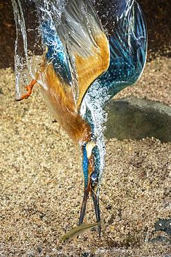 Common kingfisher (Alcedo atthis), dives for fish, Hesse, Germany, Europe - 832-387166