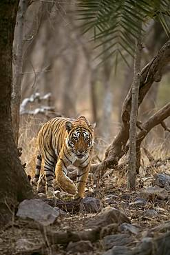 Approaching wild tiger (Panthera tigris tigris) stalking out from behind a tree while hunting, Ranthambore National Park, Rajasthan, Inida