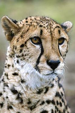 Cheetah (Acinonyx jubatus), portrait, captive, Austria, Europe