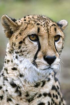 Cheetah (Acinonyx jubatus), portrait, captive, Austria, Europe