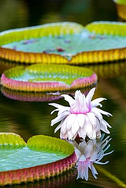 Amazon water lily (Victoria amazonica), botanical garden Terra Nostra; portrait format; Furnas; San Miguel; Azores; Poltugal