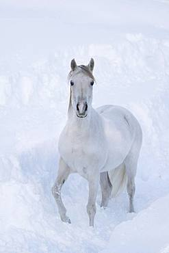 Thoroughbred Arabian mare grey in deep snow, Tyrol, Austria, Europe