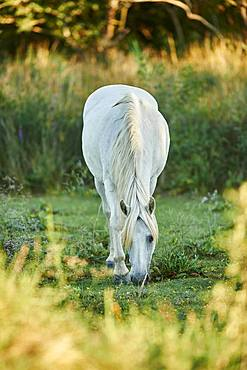 Camargue horse grazing on a field, Camargue, France, Europe
