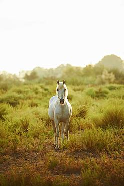 Camargue horse standing on salt meadow, Camargue, France, Europe