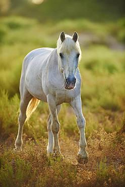Camargue horse, Camargue, France, Europe