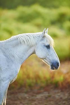 Camargue horse, portrait, Camargue, France, Europe