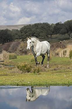 Andalusian horse, grey, gelding at trot in landscape, water reflection, Andalusia, Spain, Europe